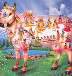 india_sacred_cow_hindu_holy_vegetar