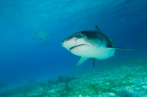 2004, Bahamas --- Tiger Sharks (Galeocerdo cuvier), Northern Bahamas --- Image by © Stuart Westmorland/CORBIS